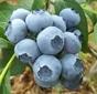 楽しくブルーベリー栽培!