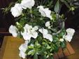 アザレアをいっぱい咲かせる。