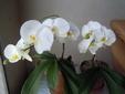 今年も咲いた胡蝶蘭 5月26日満開です