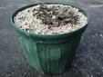 鉢を割ったヘデリフォリウム