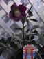 ベランダのクリスマスローズの鉢植え