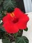 ハイビスカスはカナダでも咲く‼︎‼︎