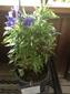 変化朝顔始めました。青針葉極淡藤紫采咲