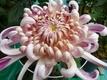 菊の文チャン