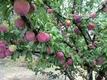 趣味は果物作り