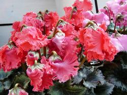ふっくらとした花とかわいらしいつぼみのシクラメン。2倍楽しめそう