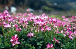 春の風物詩、レンゲの花の風景。マメ科植物の根粒菌による窒素固定を利用した緑肥として知られる