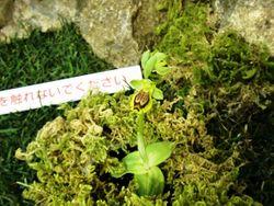 地中海沿岸地域で見られる地生ランのオフリス。受粉のための花粉をオスに運ばせるべく、花はメスに擬態している。お目当ての昆虫は何だろうか!?(写真はオフリス・スフェゴデス。「世界らん展日本大賞2015」で撮影)