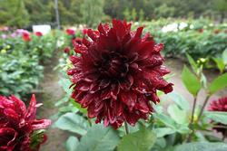 ダリア\u0027黒蝶\u0027。花径は20センチほどになるだろうか