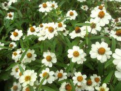 優秀賞(東京都産業労働局長賞)のジニア「プチランドホワイト」。厳しい条件のなかでも豊富な花数、美しい草姿を見せてくれた(写真提供:東京港埠頭)