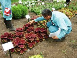 期間中、花、葉、姿の安定した美しさ求められるトライアル。3回の審査がスコア化され、評価され、入賞が選出された