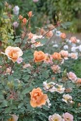 「チャーリー・ブラウン」。花は茶色で半八重咲きのミニチュアローズ。花つき、花もちもよい。枝変わりに「チャーリー・アンバー」がある