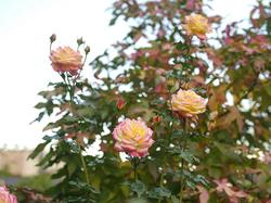 「トロピカル・シャーベット」。濃いイエローが印象的なフロリバンダ。咲きすすむにつれて、花弁の縁が赤く染まっていく