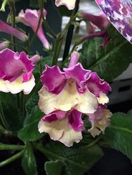 ストレプトカーパス'フォーチュンバタフライ'。紫あるいは青紫色に黄色が加わったバイカラー咲きの花が印象的だった。兼弥産業が出品