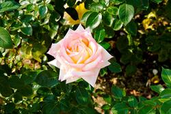 'ピース'。1939年に作出された試作番号「3-35-40」のバラは、1945年、'ピース'と名付けられてアメリカから売り出され、戦後世界に平和の訪れを印象づけた