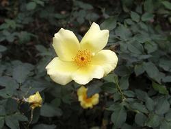 ミスターローズ、鈴木省三さんが作出し、世界的なバラのコンクールで最初の受賞花となった'天の川'。1956(昭和31)年、ドイツのハンブルグ国際コンクールで銅賞に輝いた