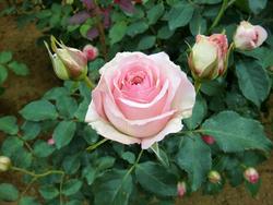 '春乃'。バラの育種家、武内俊介さんによる2015年作出のバラ。やさしいピンク色が優美な雰囲気を醸し出し、引きつけてやまない。咲き進むとボリューム感が出てくる