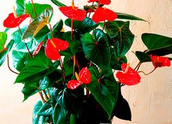 観葉植物のアンスリウム。花が咲くほうが話題豊かになってよいという声も……