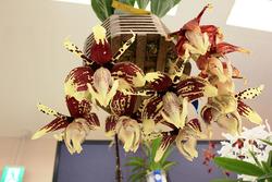 開花が4~5日間くらいといわれるスタンホペア。花の咲き方に注目(写真提供:蘭友会)