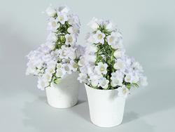 カンパニュラ ホワイトメアリーミー。美しい花と花つきのよさが高い評価を受けた(写真提供:(公社)日本家庭園芸普及協会)