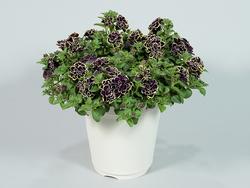 ペチュニア 花衣 黒真珠。競争が盛んなペチュニアなかで、豪華であでやかな花が高く評価された(写真提供:(公社)日本家庭園芸普及協会)