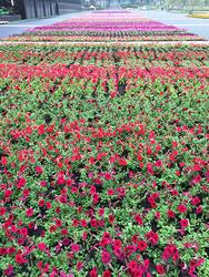 陸上競技場100メートル走路を利用したペチュニア花壇。約1,200人市民の手で植えつけが行われた