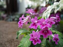 ストレプトカーパスは花色が多彩になっている