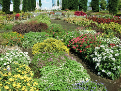 お台場おもてなしセレクション2017の夏花壇。コリウスやジニア、ニチニチソウが咲いていた