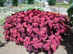 最優秀賞の農林水産省生産局長賞に輝いたコリウス「レッドヘッド」。夏花花壇のトライアル期間中、美しい葉色と安定した草姿をキープした(写真提供:東京港埠頭(株))