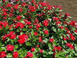 優秀賞の東京都産業労働局長賞になったニチニチソウ「コーラヘッド」。夏花花壇のトライアル期間中、安定して花を咲かせ続けたところが評価された(写真提供:東京港埠頭(株))