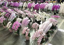 11月19日、「平成29年度全国花き品評会洋らん部門」が開催された