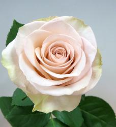 新商品奨励賞のバラ'クリスタルドレス+'。何色ともつかぬニュアンスカラーで、花弁の展開とともに花色と表情が変化するのが特徴