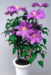 鉢花として親しまれたクレマチス。行燈仕立てが喜ばれた(撮影:ヒルタ有一)