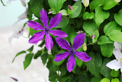 注目の「金子コレクション」の一つ'アフロディーテ・エレガ・フミナ'。澄んだ紫色がきれい。交配親の性質から花弁が4枚や5枚、6枚になるという