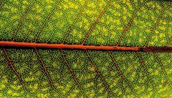 「第6章 分散化能力 ~自然界のインターネット」葉の葉脈から根の構造にいたるまで、植物のすべてがネットワークの形をとっている。写真:著者提供