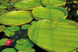 「第7章 美しき構造力 ~建築への応用」オオオニバスの葉は、数十キロの重さが上にのっても耐えられるほど丈夫な構造をしている。写真:著者提供