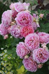 この春発表される最新品種のバラ。写真はペネロペイア(バラの家 2018年春)