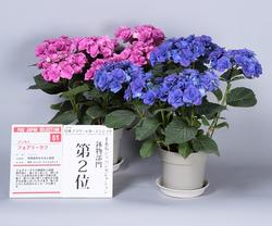 鉢物部門2位、アジサイ'フェアリーラブ'。ゴージャスな花と鮮烈な花色が印象深い(写真提供:日本家庭園芸普及協会)