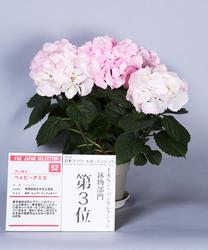 鉢物部門3位、アジサイ'ベィビークミコ'。ふっくらとした花と優美な花色が特徴(写真提供:日本家庭園芸普及協会)