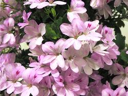センテッドゼラニウム'チェリー茅ヶ崎'の花のアップ。ゼラニウムらしからぬ花も評価された(写真提供:(公社)園芸文化協会)