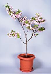 サクラ'黒姫'。サクラが鉢植えで身近に楽しめれば、わが家で花見ができる!!(写真提供:(公社)日本家庭園芸普及協会)