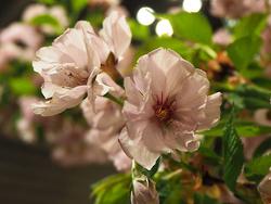 サクラ'黒姫'のアップ。花にボリューム感がある(写真提供:(公社)園芸文化協会)