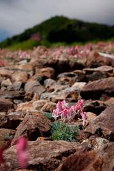 高嶺の花といえばコマクサかもしれない。白馬五竜高山植物園の標高1,600メートルくらいの斜面は、コマクサのロックガーデンになっていた(撮影:上林徳寛カメラマン)