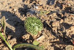 南アフリカで見られる植物、エリオスペルマム・エリナム(撮影/藤川史雄)