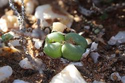 南アフリカで見られる植物、コノフィツム・サブフェネストラツム(撮影/藤川史雄)