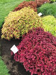 コリウス。鮮烈な色と模様の大きな葉、ボリュームある株姿は目をひく存在
