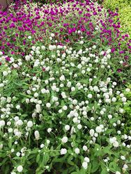センニチコウ。小さな球状の花がたくさん咲いていてかわいらしいかった