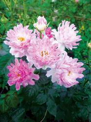 バラ シーアネモネ。名前はイソギンチャクを意味するという。その名の通り、不思議な雰囲気を感じる