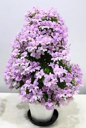 センテッドゼラニウム チェリー茅ヶ崎。「株全体に咲く花つきのよさに、ペラルゴニウムの可能性を感じる」という審査員評だった