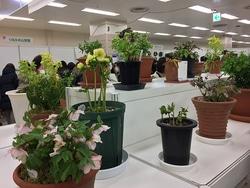 展示会場には愛好者が栽培した花がずらりと並んでいた。一番手前の薄ピンクの花はチベタヌス(2018年の展示風景から)
